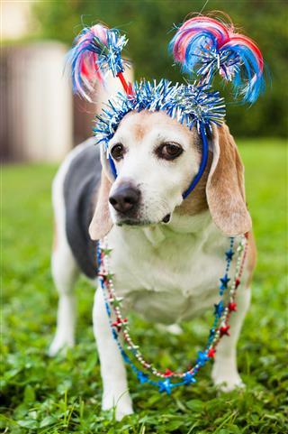 Beagle Wearing Head Band