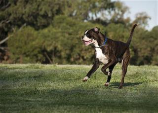 Playful Boxer
