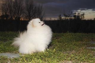 Pomeranian Lulu