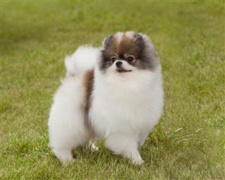 Portrait Of Purebred Pomeranian Spitz