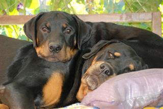 Rottweiler Dogs Relaxing