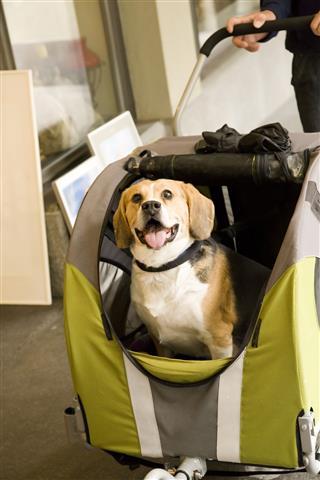 Disabled Dog