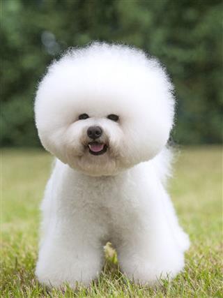 Portrait Of Purebred Dog Bichon