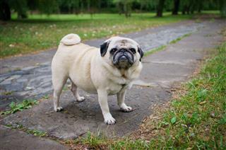 Fat Pug Outdoors