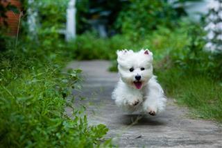 Westie Dog Run Fast Like Flying