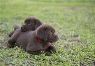 Cute Labrador Puppies On Meadow