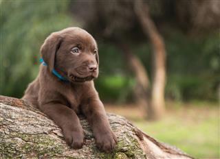 Cute Labrador Puppy On Tree