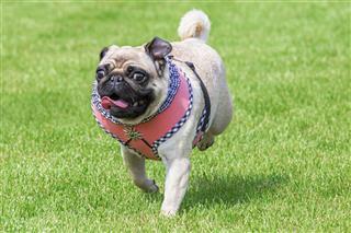 Running Pug Dog Dirndl Dress