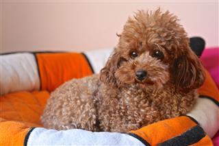 Baby Dog Poodle