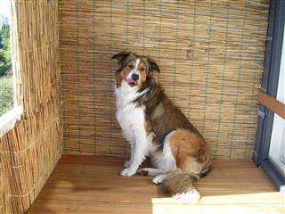 Dog Border Collie