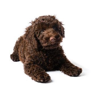 Labradoodle Mini Puppy