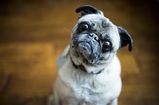 Pug Dog With Head Cocked
