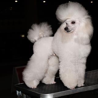 Miniature Poodle Looks Aside