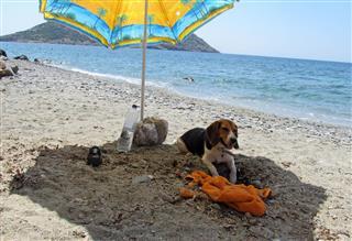 Beach Beagle