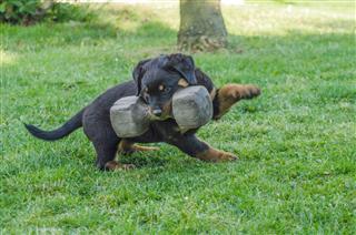 Younger Rottweiler