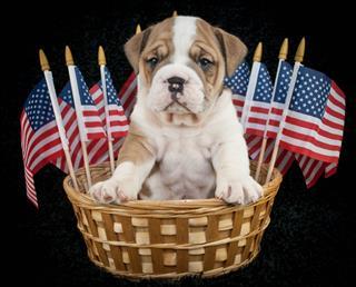 U S A Puppy