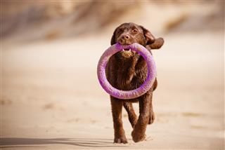 Happy Labrador Retriever Dog