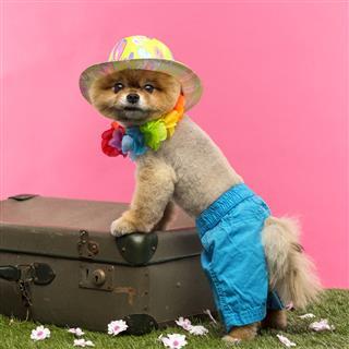 Pomeranian Dog Shorts