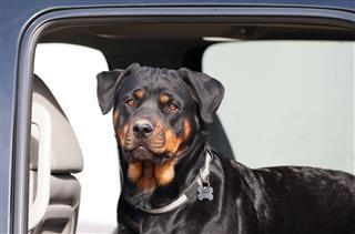Rottweiler In A Truck