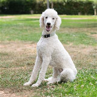 Poodle Dog At A Park