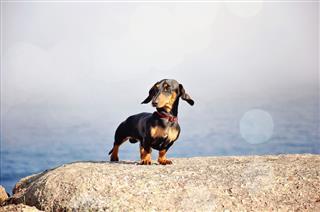 Miniature Dachshund Purebred Dog