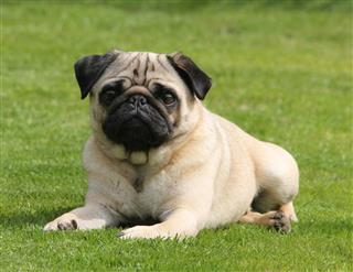 Arthur The Pug
