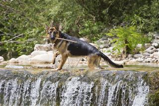 German Shepherd In The River