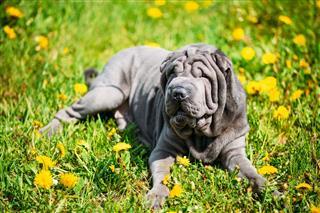 Blue Shar Pei Dog In Green Grass
