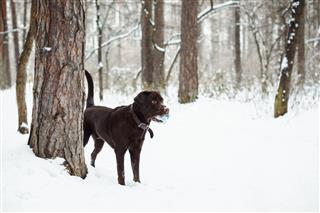 Brown Labrador Retriever Playing
