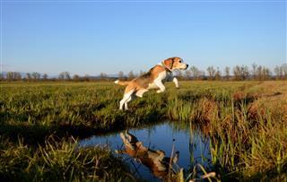 Beagle Jump Over Puddle