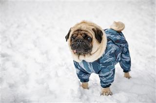 Little Sad Pug