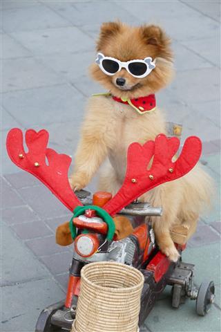 Pomeranian Brown Dog Wearing Glasses