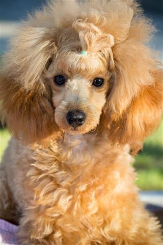 Miniature Apricot Color Puppy Poodle