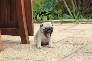 Pug Puppy Yawning