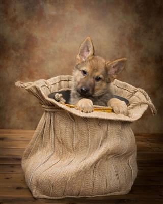 Begging Shepherd Puppy