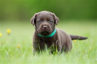 Brown Labrador Retriever Puppy