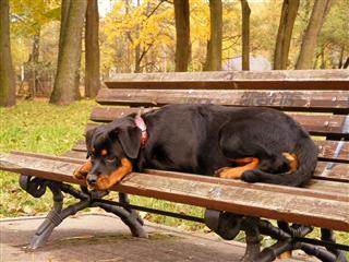 Rottweiler Lying On Garden Bench