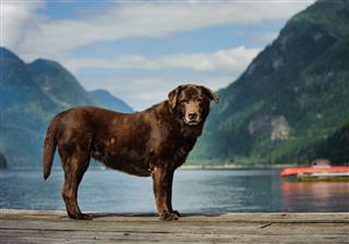 Senior Chocolate Labrador Retriever