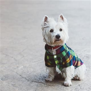 Cute West Terrier