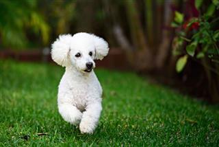White Poodle Run