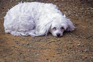 White Maltese Poodle