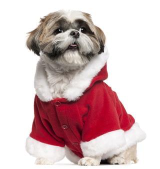 Shih Tzu Wearing Santa Outfit