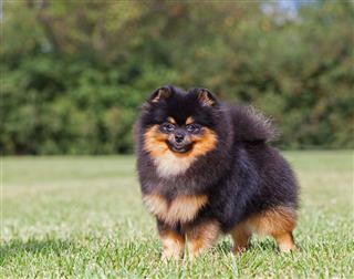 Purebred Dog Pomeranian Spitz