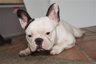 French Bulldog Looks Smart
