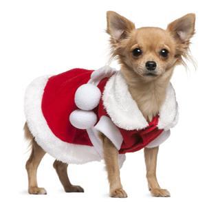 Chihuahua Dressed In Santa Dress