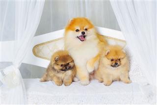 Fluffy High Bred Spitz Dog