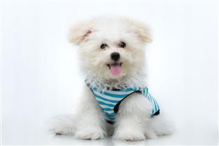 Shih Tzu Puppy Breed