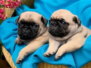 Snug Pug Puppies In A Basket