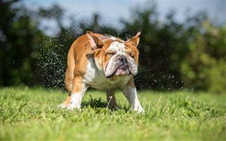 English Bulldog Shaking Off Water