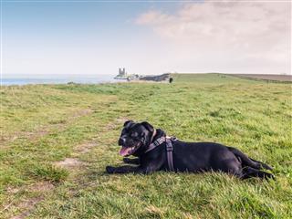 Staffordshire Bull Terrier Lying Down